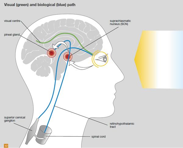 licht_wissen_visual_and_biological_pathway_s