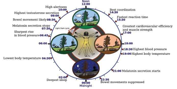 wikipedia_human_circadian_cycle